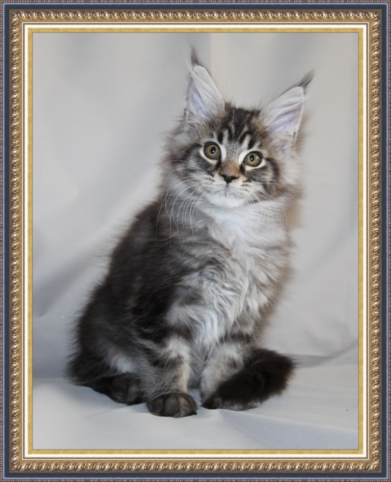 Кун котята домашняя рысь фото мейн кун